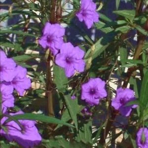 Purple Ruellia 'Mexican Petunia'